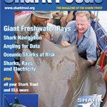 shark trust giant freshwater stingray in thailand