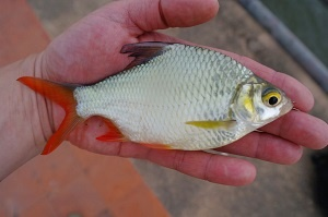 Tinfoil Barb - barb red tailed tinfoil