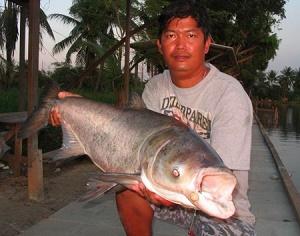 Bighead carp - carp bighead