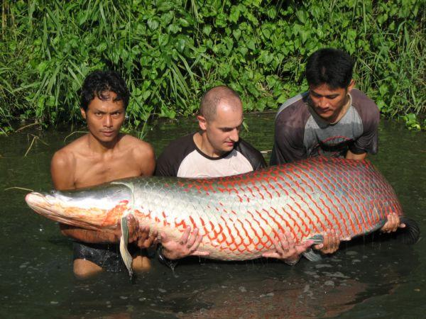 Arapaima gigas estimated 160kg+.Bungsamlan Lake in Bangkok