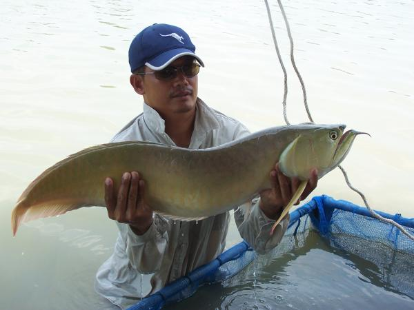 Arowana caught from IT Monster predator Lake in Ratchaburi