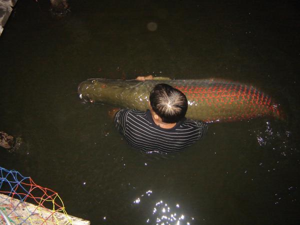 100kg+ Arapaima gigas from Bungsamlan Lake in Bangkok.