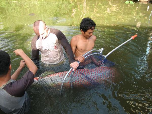 Large Arapaima gigas is prepared for photography in the margins.