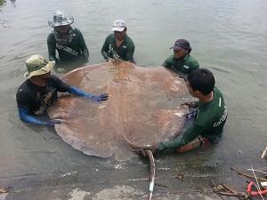 Big Thai stingray Mae Klong River Thailand