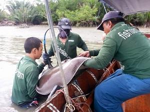Mae Klong River Thailand Stingray fishing