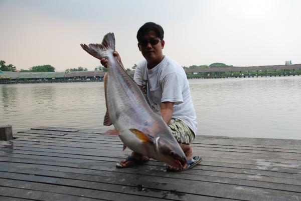 Striped catfish caught from Bungsamlan Lake in Bangkok.