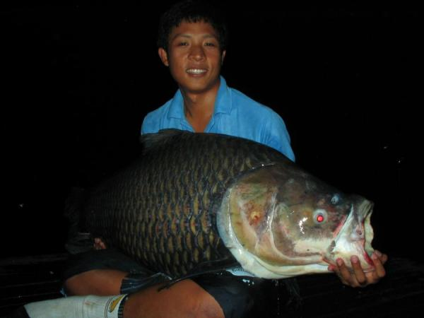 Giant siamese carp caught from Bungsamlan Lake Bangkok 50kg+.