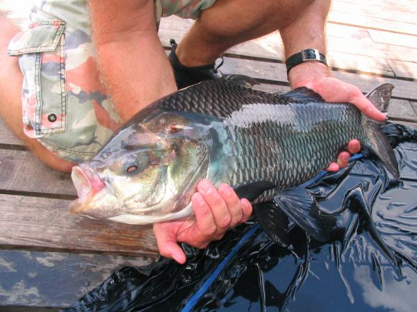 Catla Catla (Indian carp)caught from Bungsamlan Lake in Bangkok.