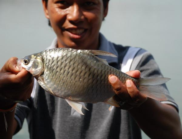 Small Java Barb caught from Bungsamlan Lake in Bangkok