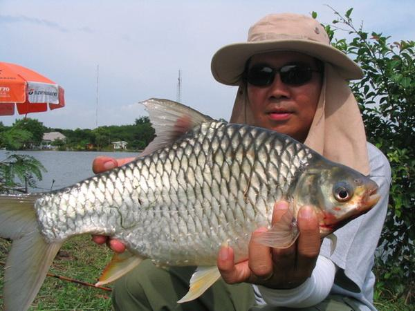 Java Barb caught from lake near Bangkok.