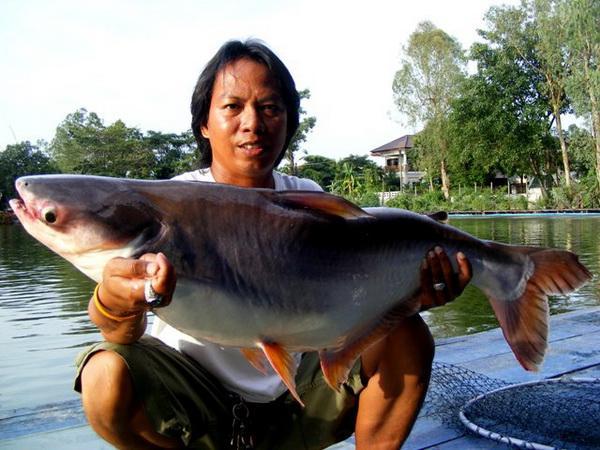 Large Striped Catfish caught from Bungsamran Lake in Bangkok.