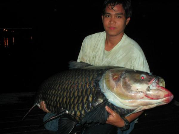 Giant Siamese carp caught from Bungsamlan Lake in Bangkok 50kg+.