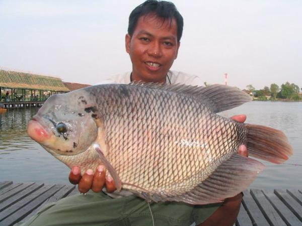 Nice Giant Gourami caught from Bungsamran Lake in Bangkok.