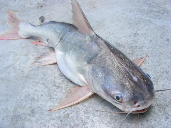 Thick Spined Catfish caught from the tidal Ban Pakong River.