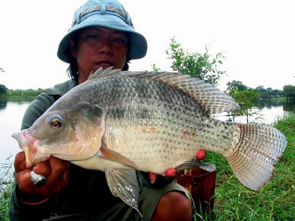 Tilapia caught from new lake near Bangkok by Jeab.