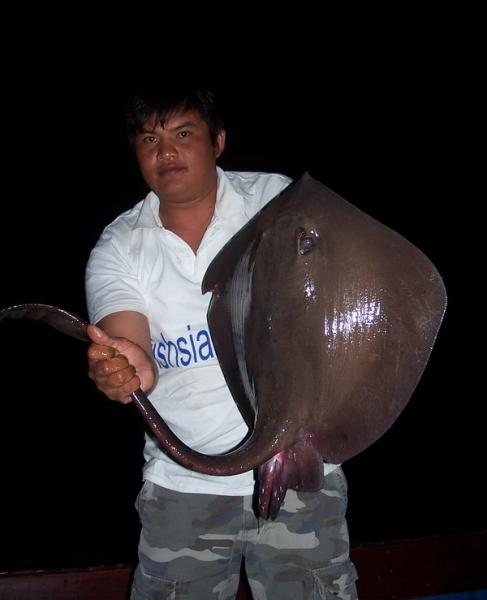 Cowtail stingray caught from the Ban Pakong River.
