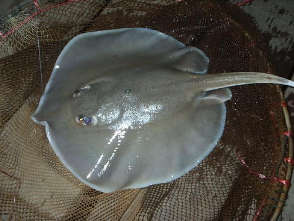 White edged freshwater stingray caught from the Nakon Nayok River