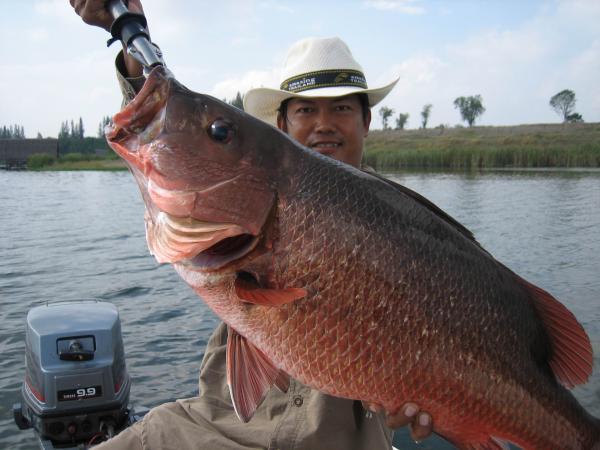 Lure caught Mangrove Jack from Fishing world Lake in Minbu