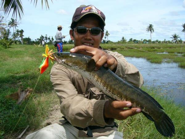 Striped Snakehead caught from the Ban Pakong complex.