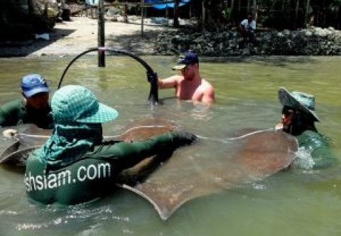 Stingray News Mae klong River 2016