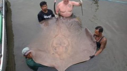 200 kg Giant Stingray Maeklong River December 2016