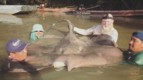Dutch angler lands Giant stingray at Mae klong River