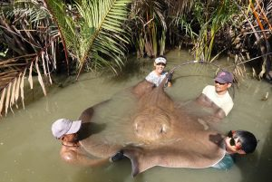 Malaysian anglers catch 200 kg Giant Stingray Mae klong River