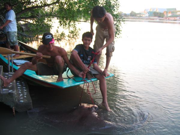 Large female Giant freshwater stingray caught by Tom Parker estimated 180-200kg from the Ban Pakong