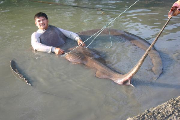 Giant freshwater stingray caught from Ban Pakong River 2005.Possibly the largest freshwater fish eve