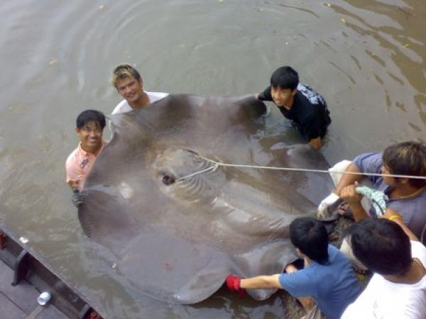 Giant freshwater stingray caught from the Ban Pakong River by the fishsiam team estimated