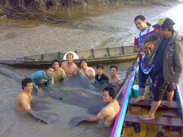 Giant freshwater stingray caught from the Ban Pakong River by the fishsiam team estimated to weigh 1