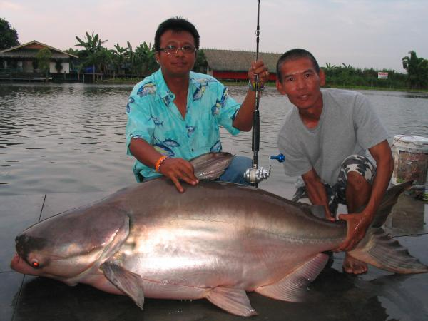 Giant Mekong Catfish caught from Bungsamlan Lake in Bangkok.