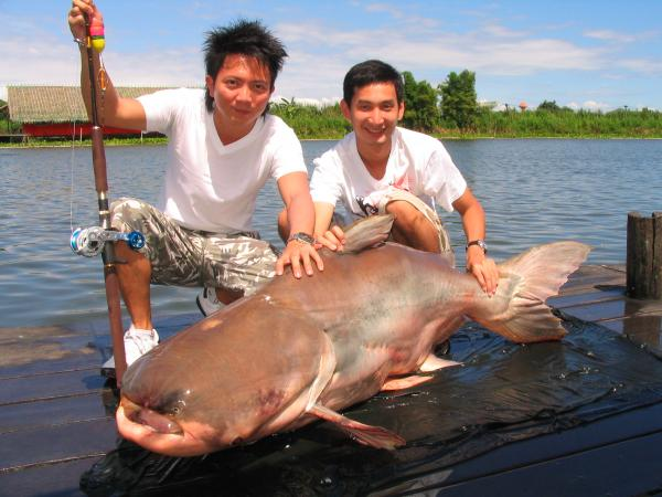 Big Giant Mekong Catfish caught from Bungsamlan Lake in Bangkok.