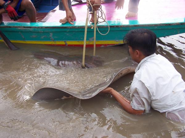 Big Giant freshwater stingray is brought to the bank on the Ban Pakong River.