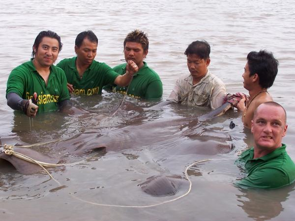 Giant freshwater stingray estimated 130-140kg(1.75m)caught from the Ban Pakong River.