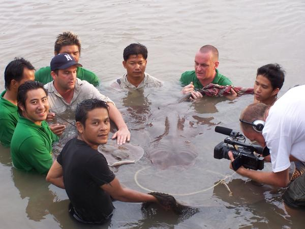 Giant freshwater stingray caught from the Ban Pakong River.