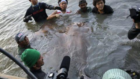 Giant Stingray Fishing in Thailand