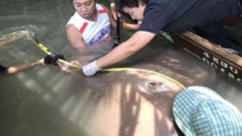 Mae klong River Stingray fishing in Thailand 2017
